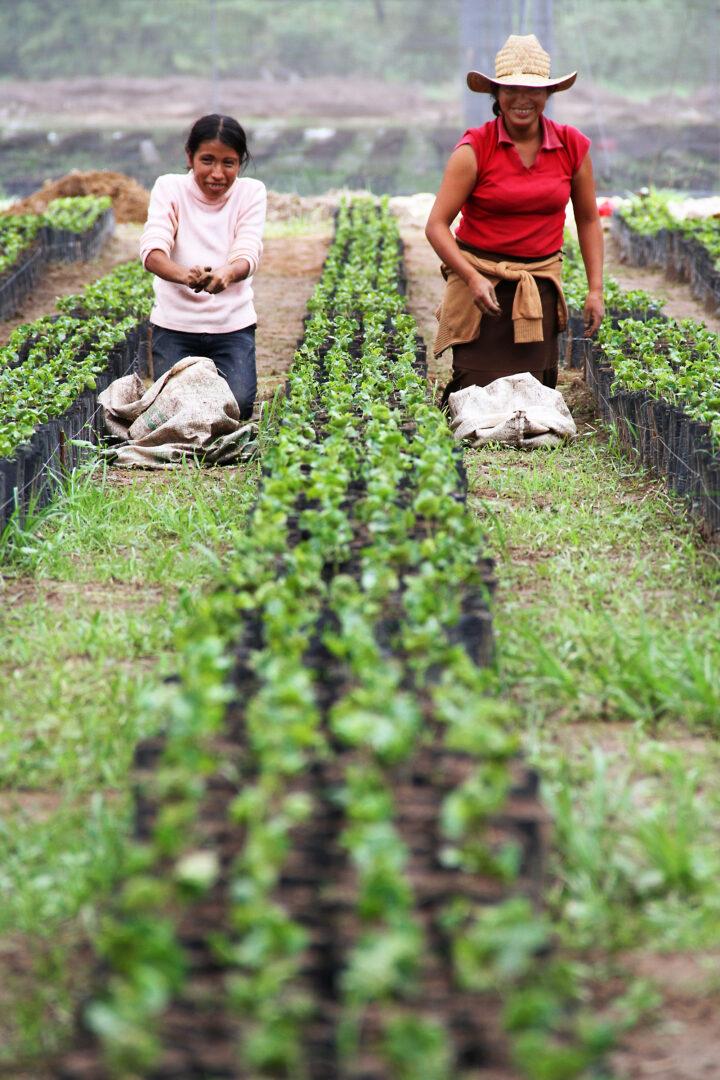 Coffee farmers in a coffee nursery