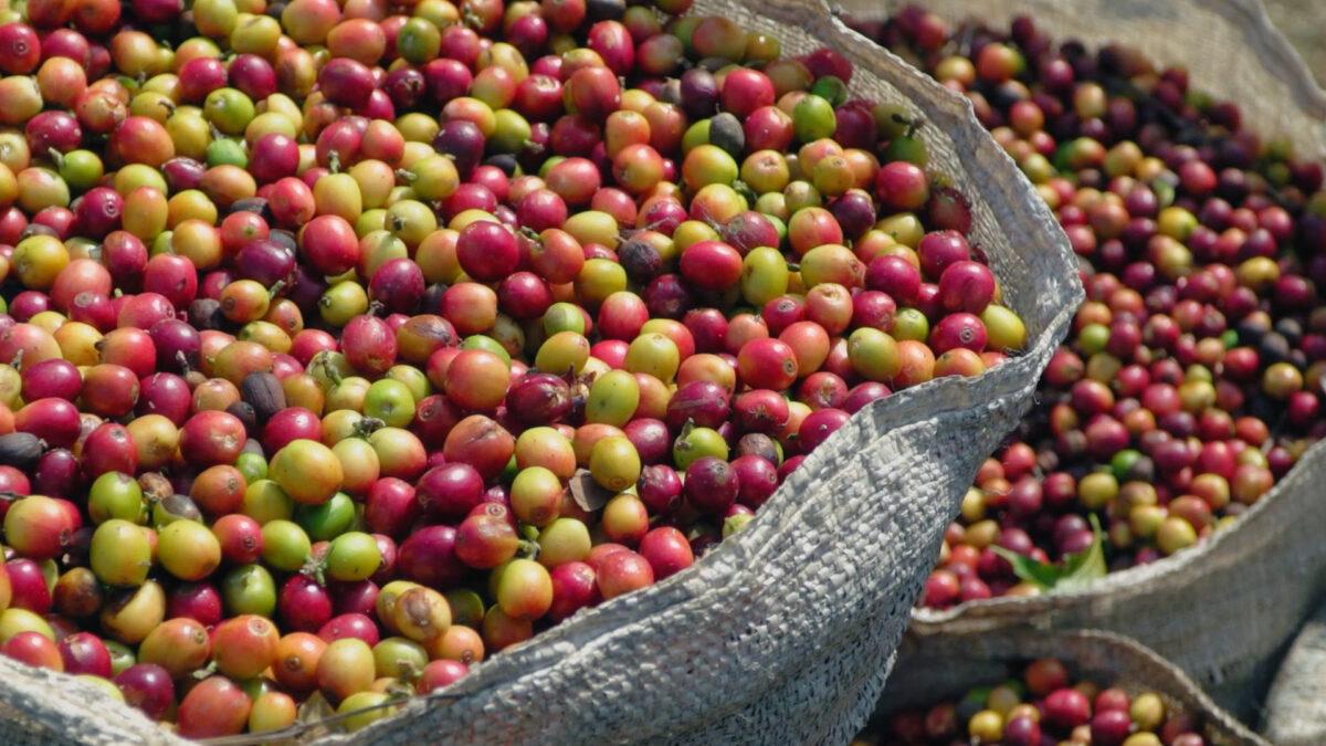 Hacienda Alsacia: Dedicated to Ensuring the Future of Coffee