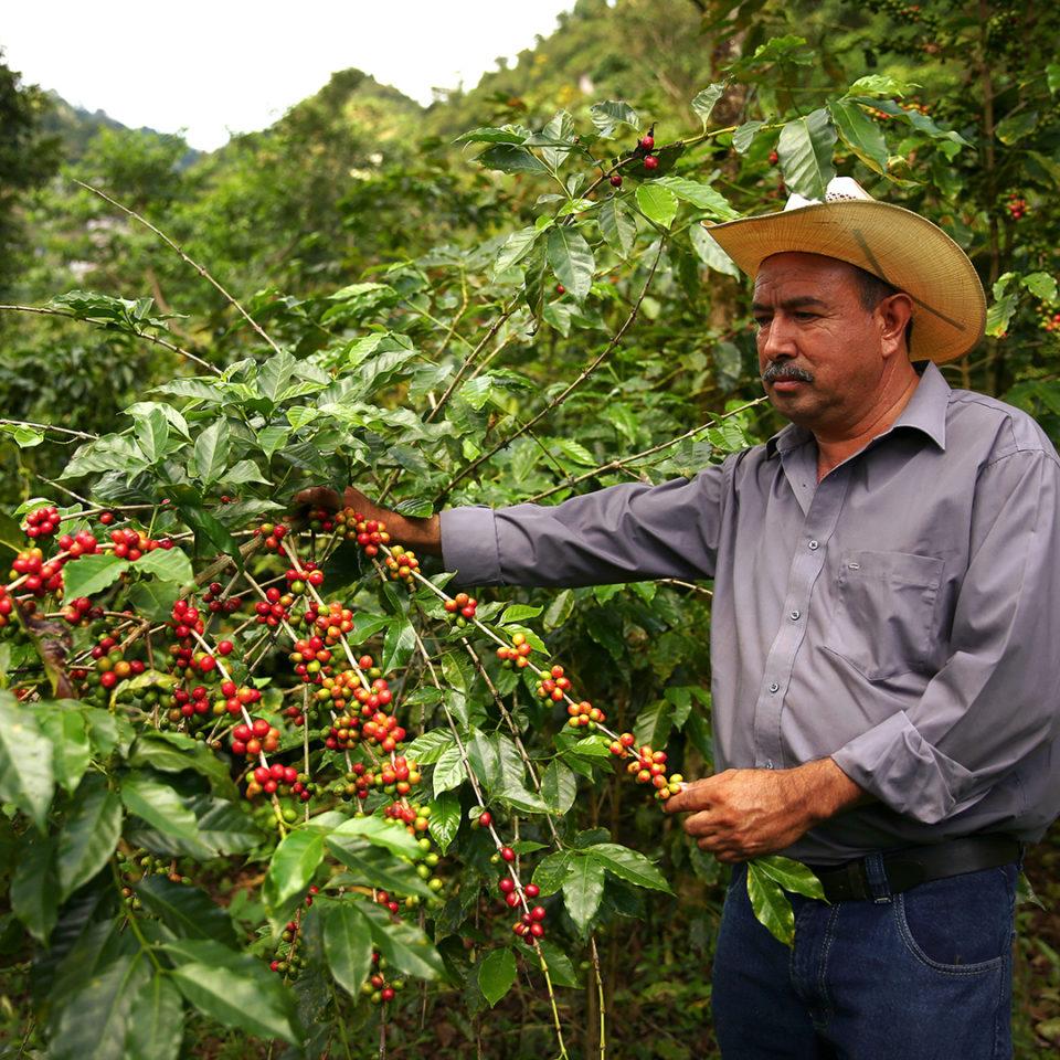Coffee farmer harvesting coffee cherries